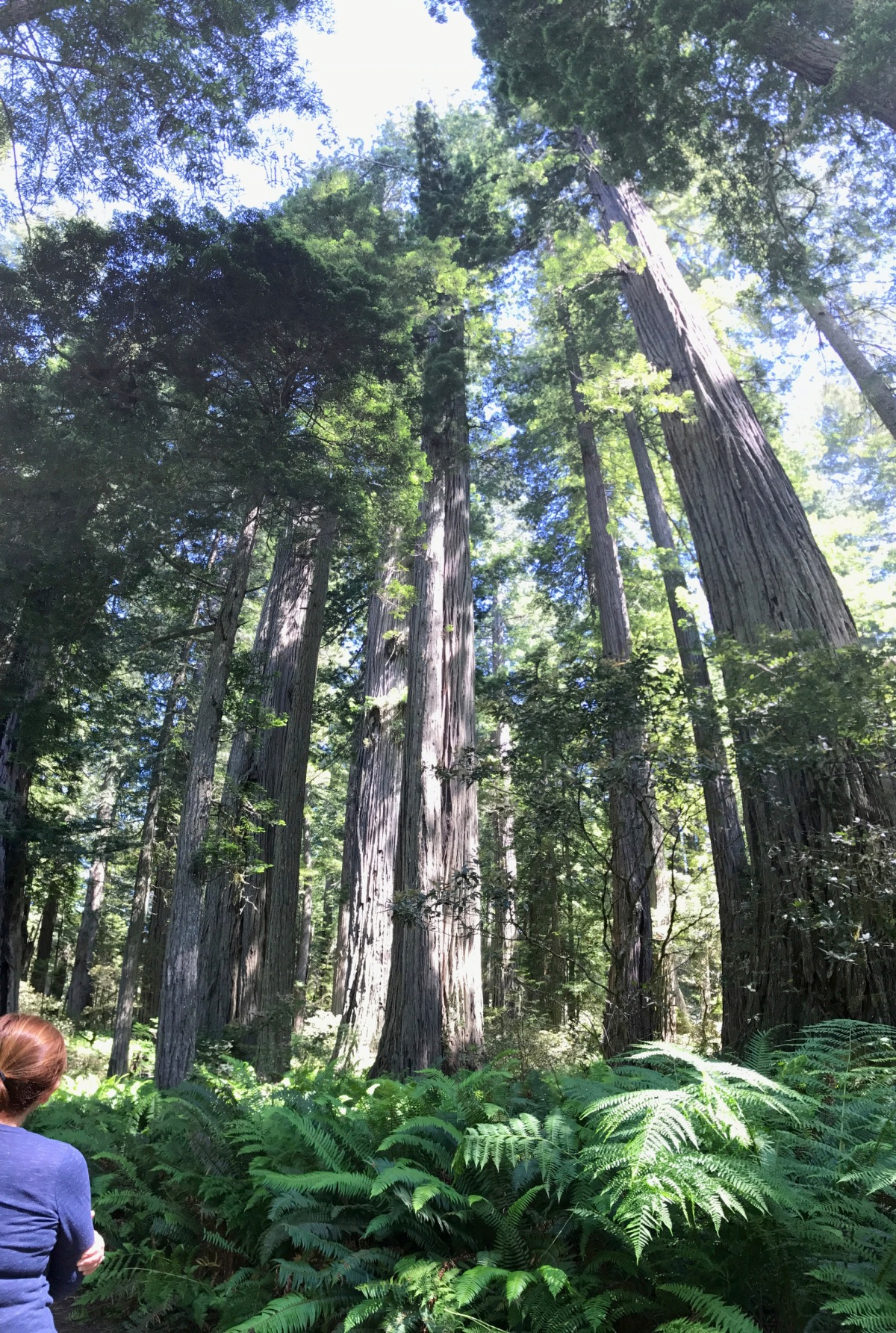 Redwood forest serenity